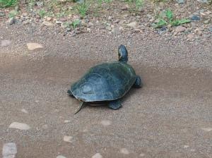 turtle sg